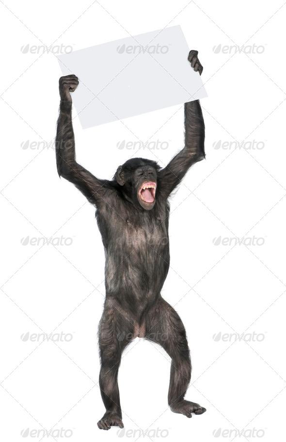 protesting monkey - Stock Photo - Images