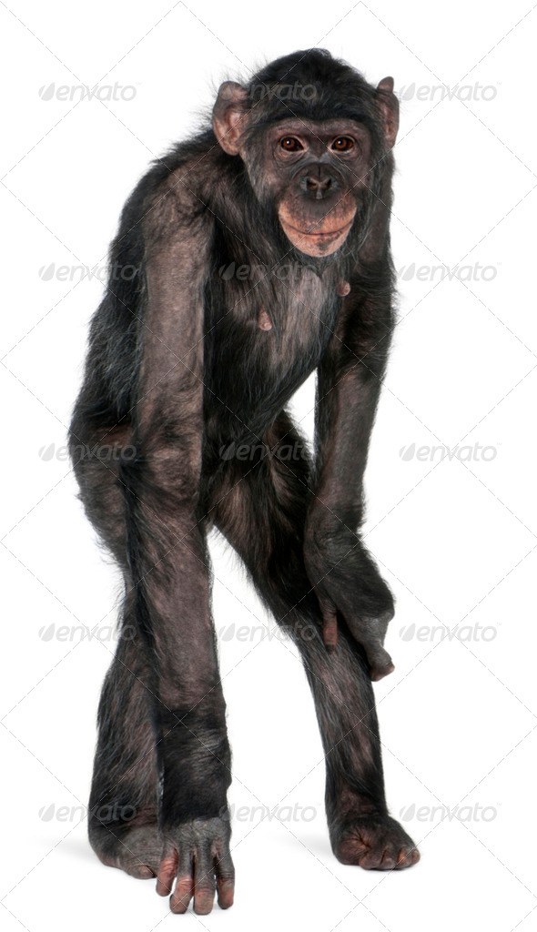 Mixed-Breed monkey between Chimpanzee and Bonobo, 8 years old, standing in front of white background - Stock Photo - Images