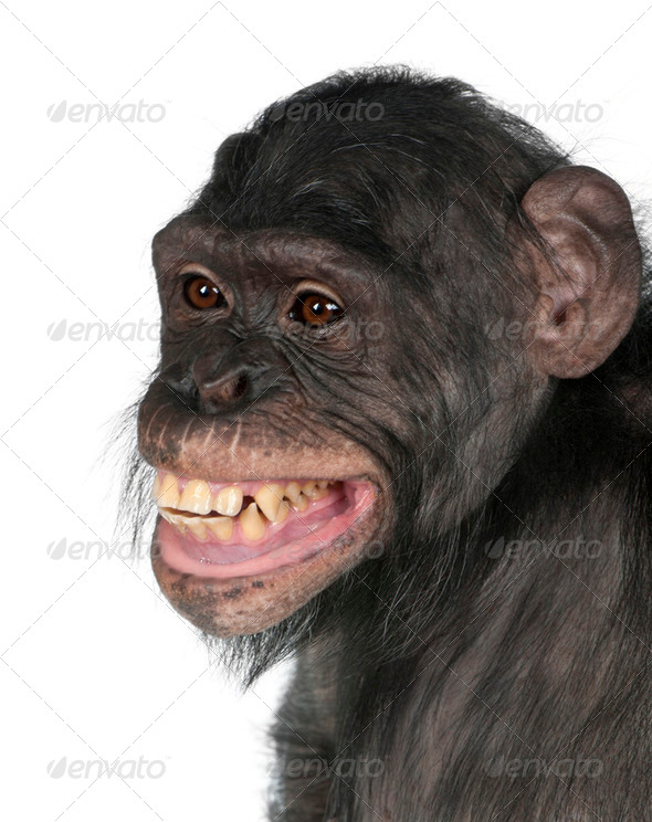 Close-up of Mixed-Breed monkey between Chimpanzee and Bonobo smiling, 8 years old - Stock Photo - Images