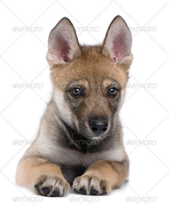 Young European wolf - Canis lupus lupus - Stock Photo - Images