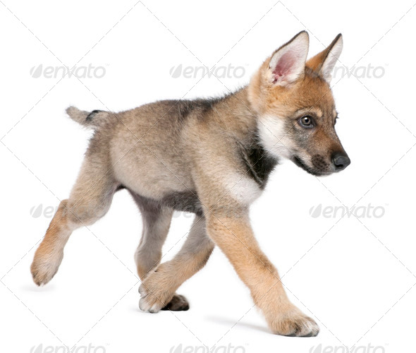 Young European wolf running - Canis lupus lupus - Stock Photo - Images