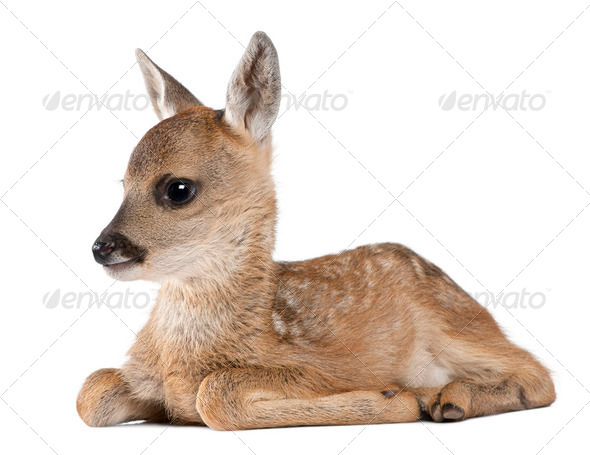 roe deer Fawn lying down - Capreolus capreolus (15 days old) - Stock Photo - Images