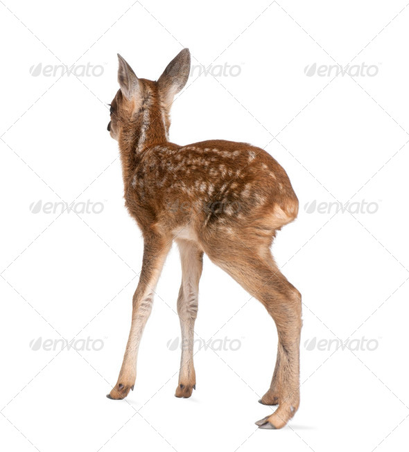 roe deer Fawn - Capreolus capreolus (15 days old) - Stock Photo - Images