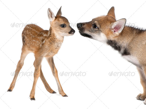 interplay between roe deer Fawn and Eurasian Wolf - Stock Photo - Images
