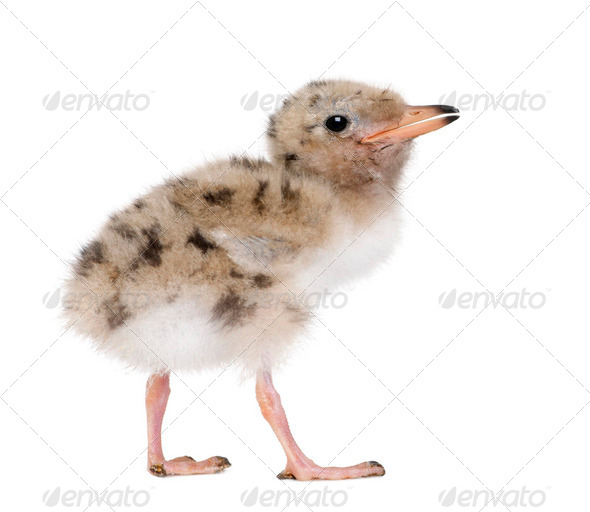 Common Tern chick - Sterna hirundo (7 days old) - Stock Photo - Images