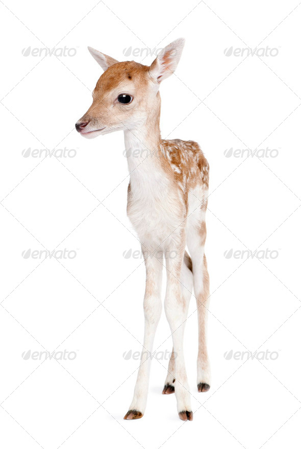 Fallow Deer Fawn - Dama dama (5 days old) - Stock Photo - Images