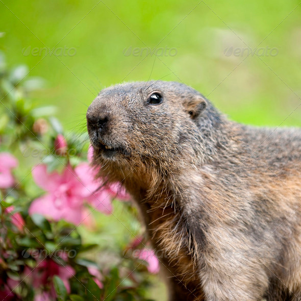 Alpine Marmot - Marmota marmota - Stock Photo - Images
