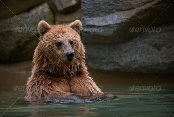 Brown bear in a swimming pool - Stock Photo - Images