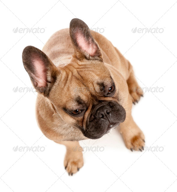High angle view of French bulldog, studio shot - Stock Photo - Images