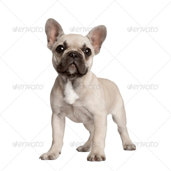 Portrait of French bulldog standing in front of white background - Stock Photo - Images