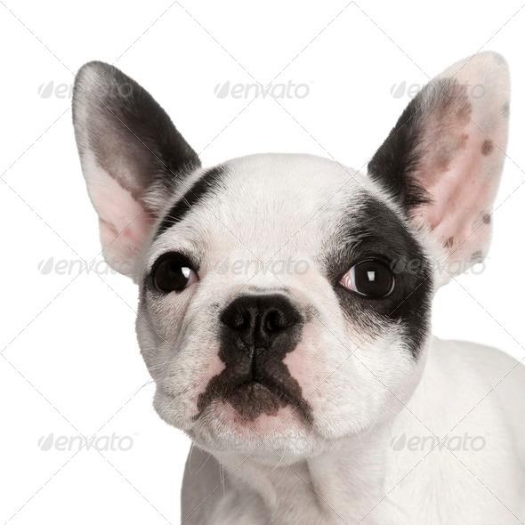 Portrait of French bulldog, studio shot - Stock Photo - Images