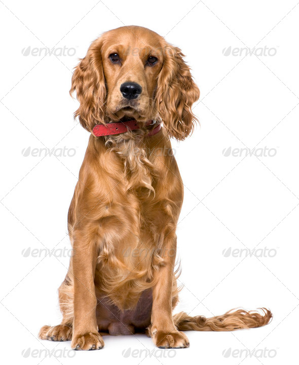 Cocker Spaniel, sitting (1 years old) - Stock Photo - Images