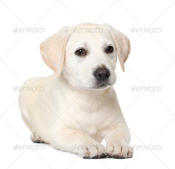 Labrador puppy (4 month old) - Stock Photo - Images