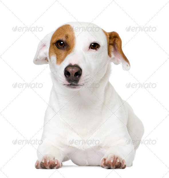 Jack russell (1 year old), facing. - Stock Photo - Images