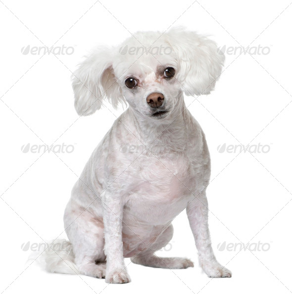 Mixed-Breed Dog ( 5 years old) sitting. - Stock Photo - Images