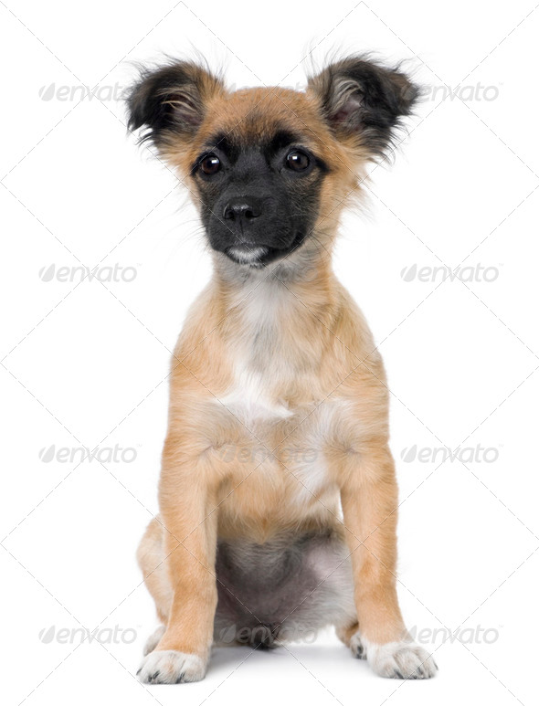Bastard puppy sitting (4 month old) - Stock Photo - Images