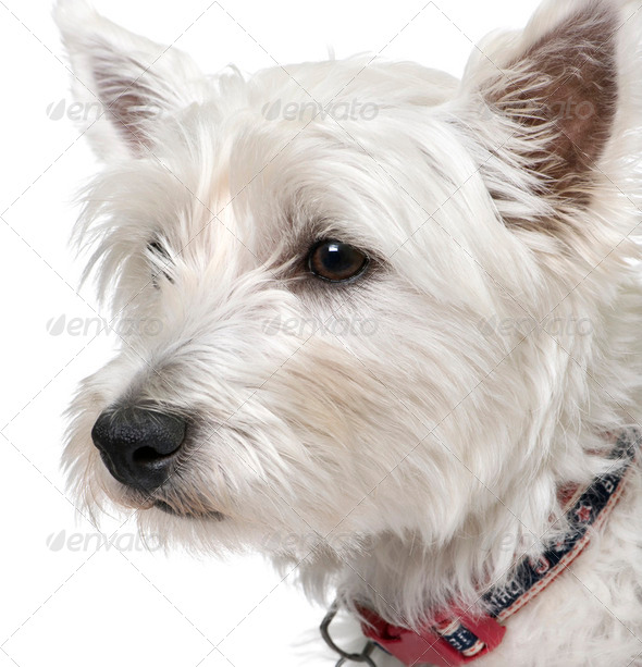 West Highland White Terrier (1 year old) portrait. - Stock Photo - Images
