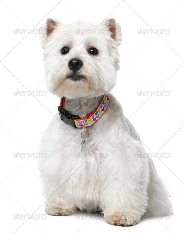 West Highland White Terrier (2 yeard old) sitting. - Stock Photo - Images