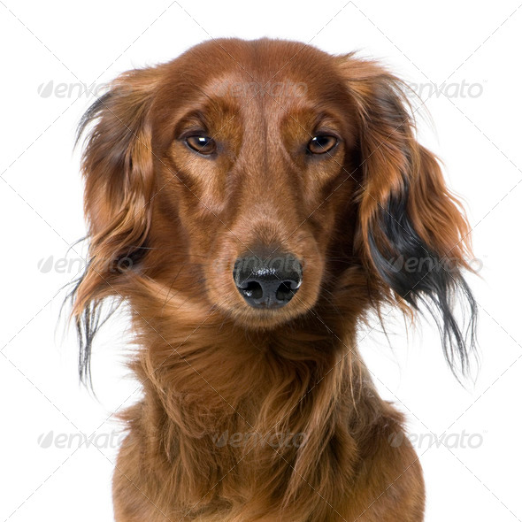close-up on a dog's head, Dachshund, front view - Stock Photo - Images