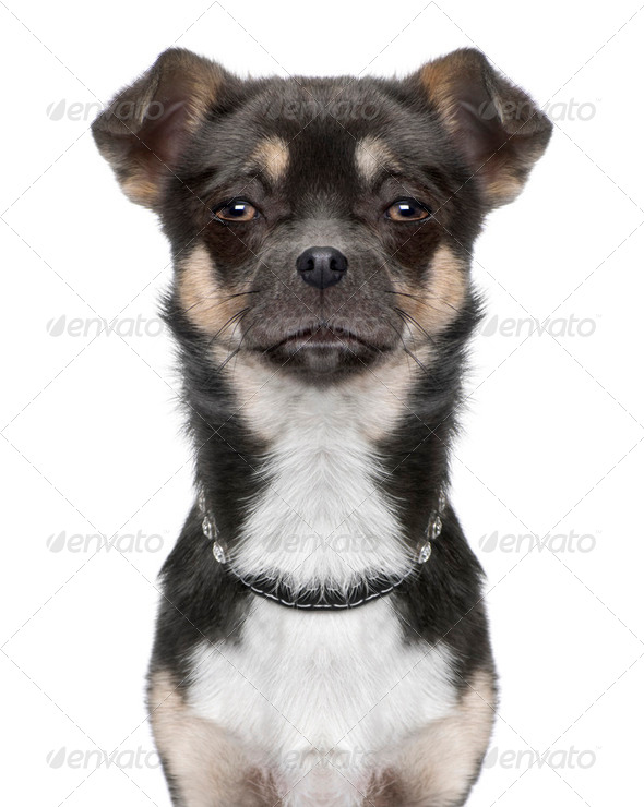 close-up on a chihuahua's head (Digital enhancement) - Stock Photo - Images