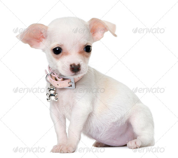 cute chihuahua puppy (3 month old) - Stock Photo - Images