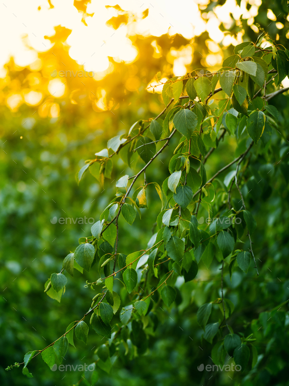 Fresh green birch leaves in sunset light. Copy space - Stock Photo - Images