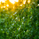 Fresh green birch leaves in sunset light. Copy space - PhotoDune Item for Sale