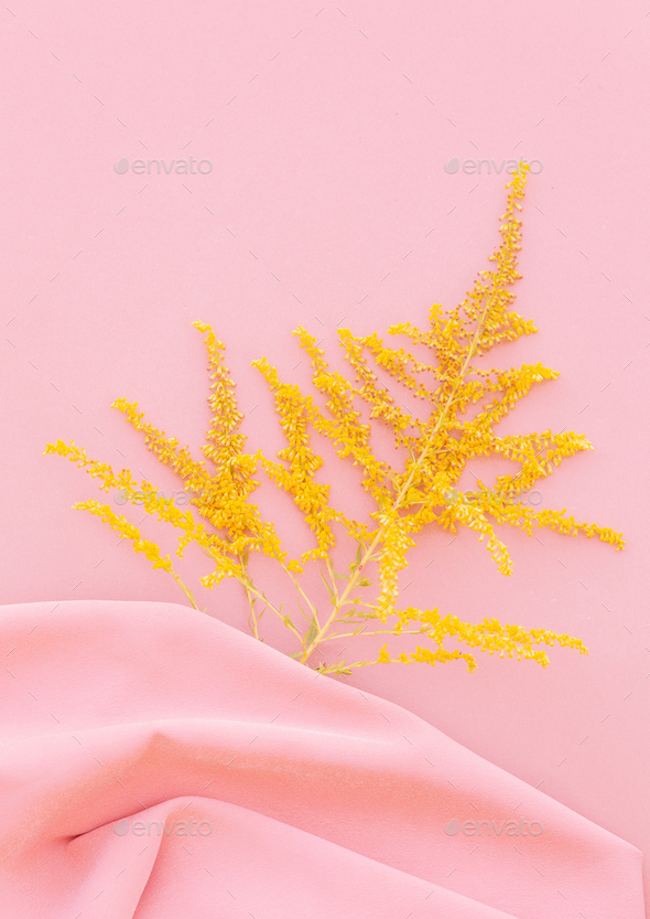 Mimosa flowers on pink - Stock Photo - Images