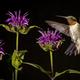 Ruby-throated Hummingbird - PhotoDune Item for Sale
