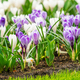 Spring Field With Colorful Crocus Flowers - PhotoDune Item for Sale