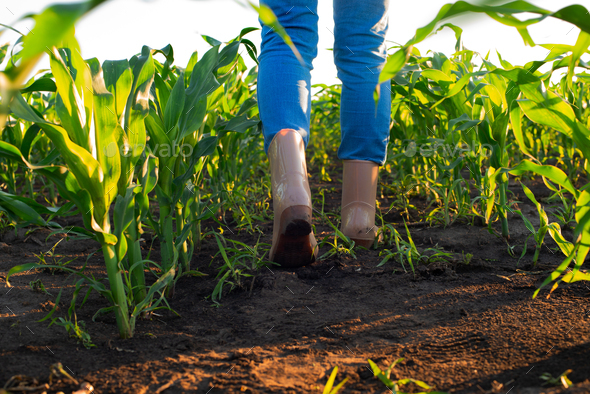 Low angle view at farmer's feet in rubber boots walking along maize stalks - Stock Photo - Images