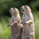 a closeup shot of two cute meerkats - PhotoDune Item for Sale