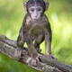 Barbary macaque (Macaca sylvanus) close up - PhotoDune Item for Sale