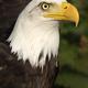 Bald eagle (Haliaeetus leucocephalus) bird portrait - PhotoDune Item for Sale