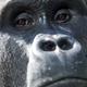 Western Lowland Gorilla (GORILLA GORILLA GORILLA) - PhotoDune Item for Sale