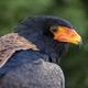 Bateleur (Terathopius ecaudatus) bird close up - PhotoDune Item for Sale