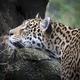 beautiful jaguar (Panthera onca) in the jungle - PhotoDune Item for Sale