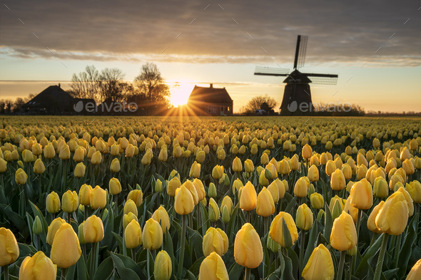 beautiful sunrise with Dutch windmill and yellow tulips - Stock Photo - Images