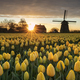 beautiful sunrise with Dutch windmill and yellow tulips - PhotoDune Item for Sale