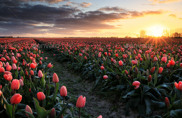 golden sunrise over red tulip field - Stock Photo - Images