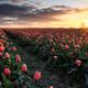 golden sunrise over red tulip field - PhotoDune Item for Sale