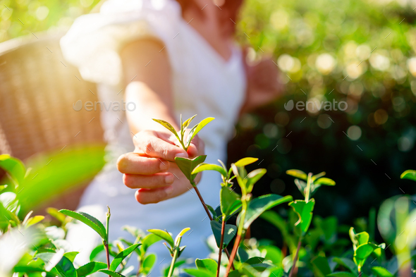 The farmer picking Green tea bud and fresh leaves with soft light, Tea plantation - Stock Photo - Images