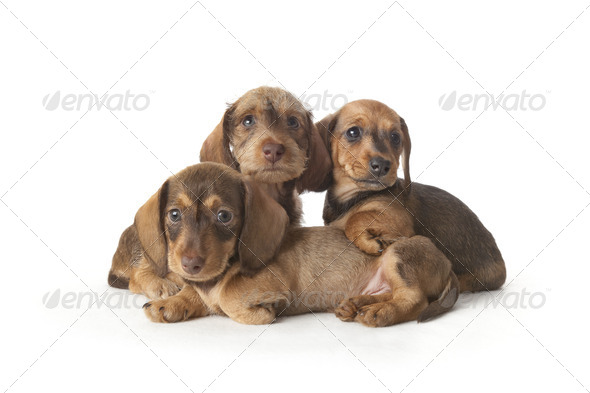 Family portrait of wire-haired dachshund puppies - Stock Photo - Images
