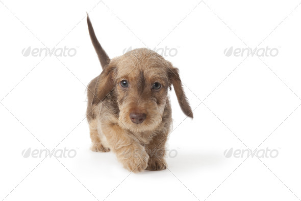 Walking wire-haired dachshund puppy - Stock Photo - Images