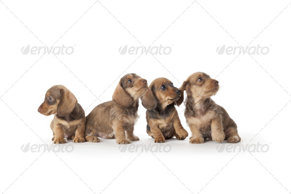 Four wire-haired dachshund puppies - Stock Photo - Images
