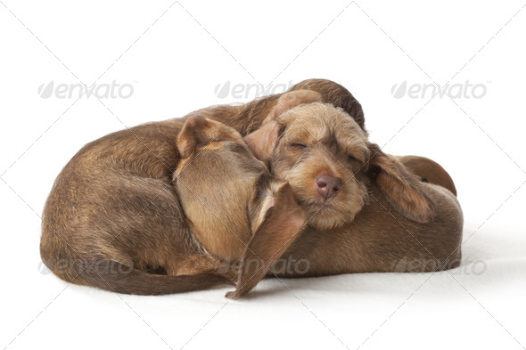 Wire-haired dachshund puppies sleeping togethe - Stock Photo - Images