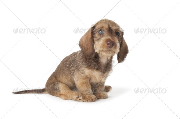 Cute wire-haired dachshund puppy - Stock Photo - Images
