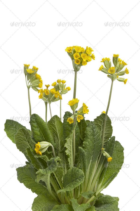 Yellow flowering Primula veris - Stock Photo - Images