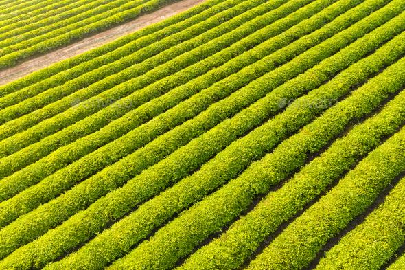 neat and beautiful tea plantation - Stock Photo - Images