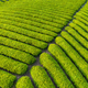 tea plantation closeup in early morning - PhotoDune Item for Sale